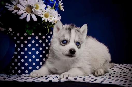 Siberian huskys puppies purebred