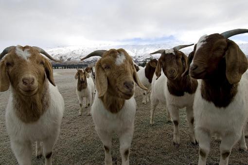 Fresh Maize Corn/Boer Goats/Brahman cattle/Broiler chickens,Eggs